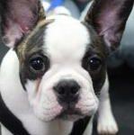 PuppyFrenchie